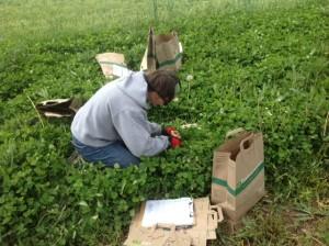 Heidi getting a close look at the weed count within the cover crop.